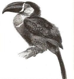 disegno di tucano